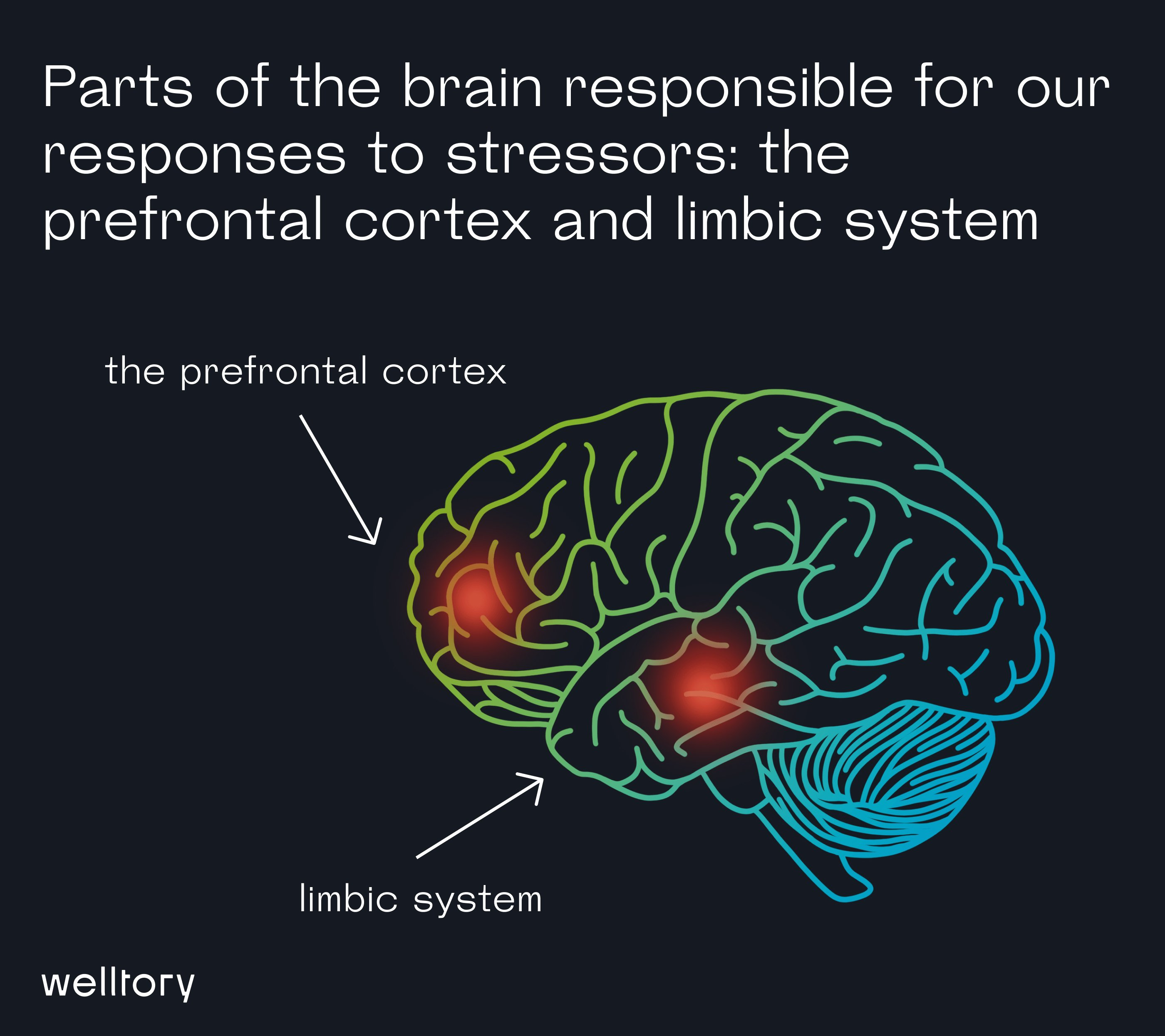 Parts of the brain responsible for our responses to stressors: the prefrontal cortex and limbic system