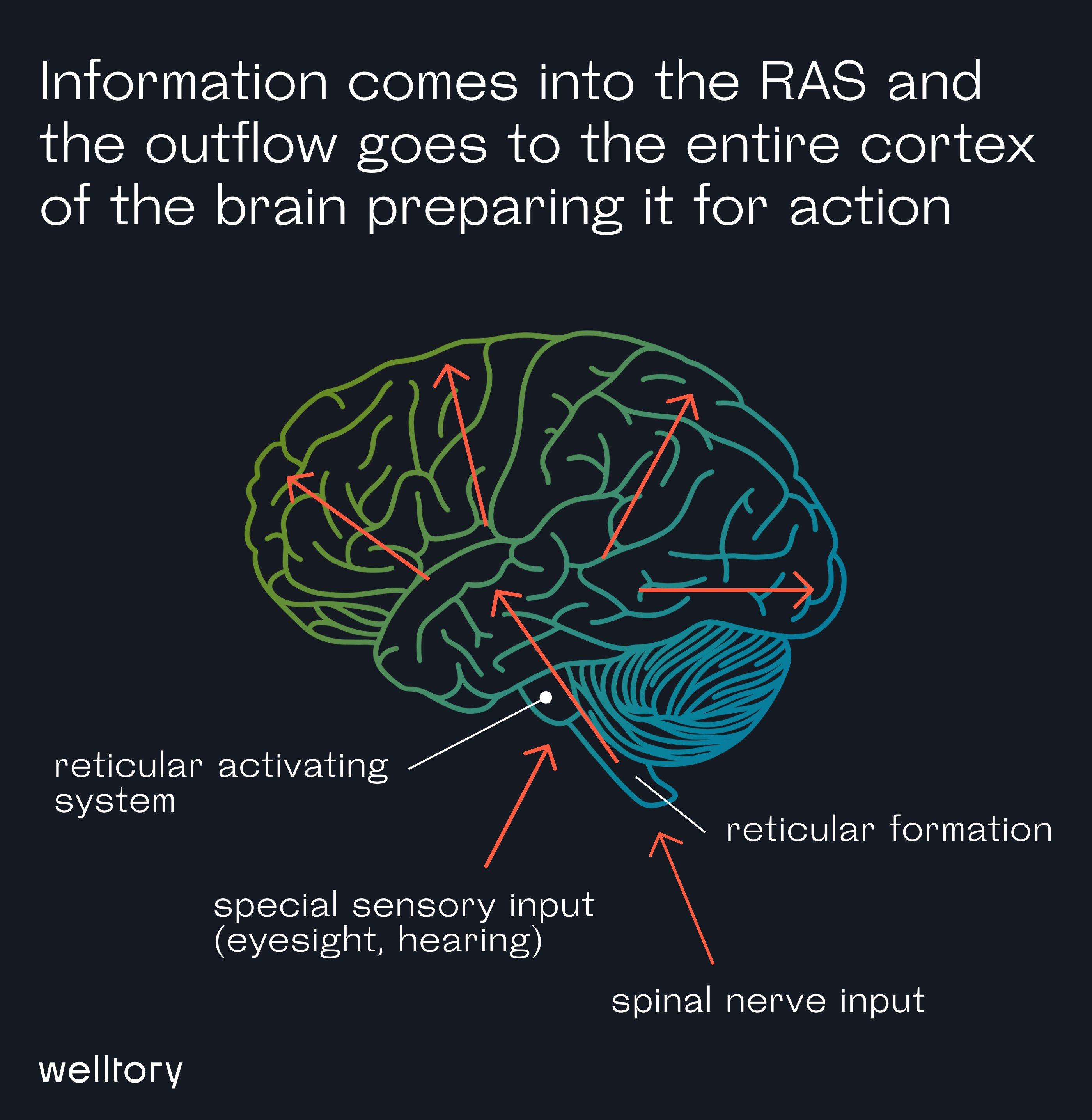 Information comes into the RAS and the outflow goes to the entire cortex of the brain preparing it for action